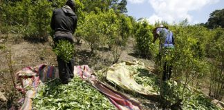US report: Colombia coca production surges to record high